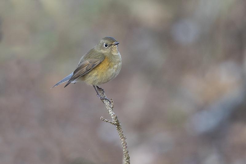 Vogels Nederland Tuin : Nationale tuinvogeltelling dwaalgasten in de tuin dutch birding