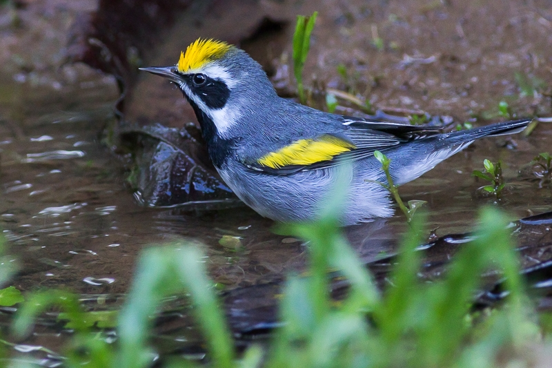 Vogels Nederland Tuin : Nationale tuinvogeltelling op zaterdag en zondag januari