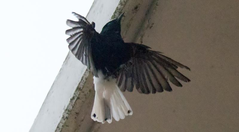 485b17b88fe Witkruintapuit - Dutch Birding
