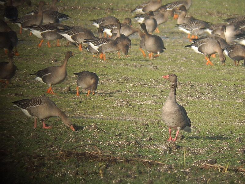 Grauwe gans dutch birding - Oostelijke mozaiek ...
