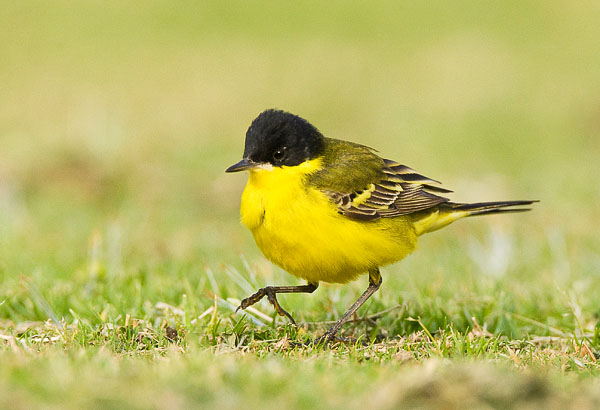 Black-headed Wagtail (Marc Guyt)