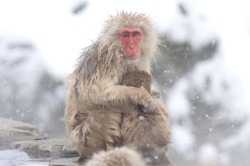 Japanse Makaak Macaca fuscata Japanese Macaque, Snow Monkey Valley, Japan (Henk Hendriks)