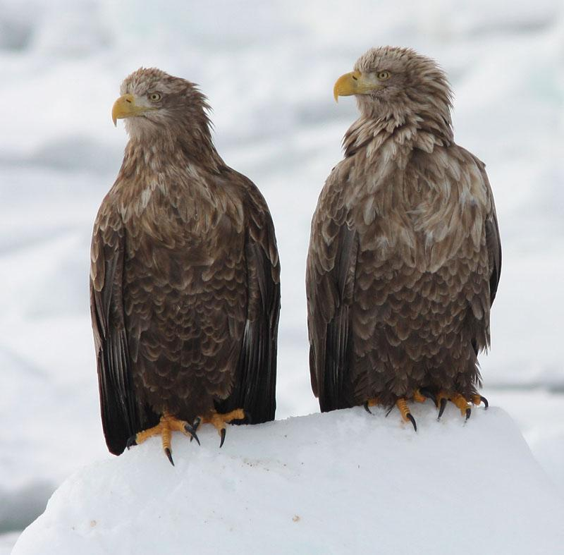 White-tailed Eagles Haliaeetus albicilla (Henk Hendriks)