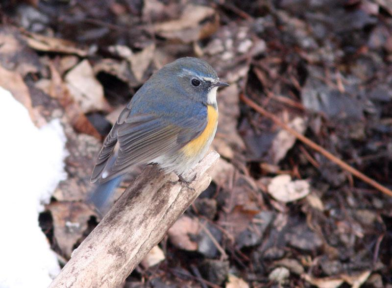 Red-flanked Bluetail Luscinia cyanura, Karuizawa, Japan (Henk Hendriks)