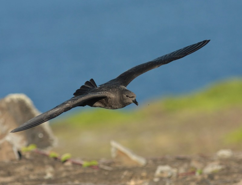 Donkere variant Trindade Petrel Pterodroma arminjoniana Round Island, Mauritius, 31 mei 2013 (Johannes Fischer)