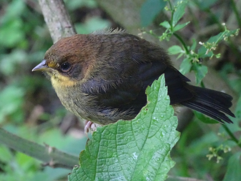 Rufous-headed Bursh Finch juvenile (Nollie Marissen)