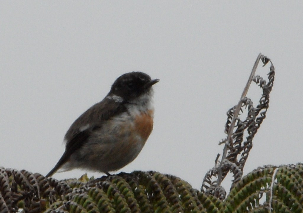 Reunion Stonechat Theo
