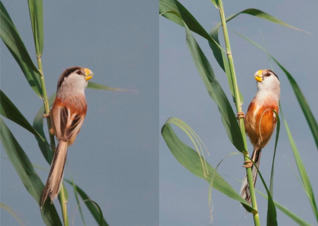 Terry Reed Parrotbill