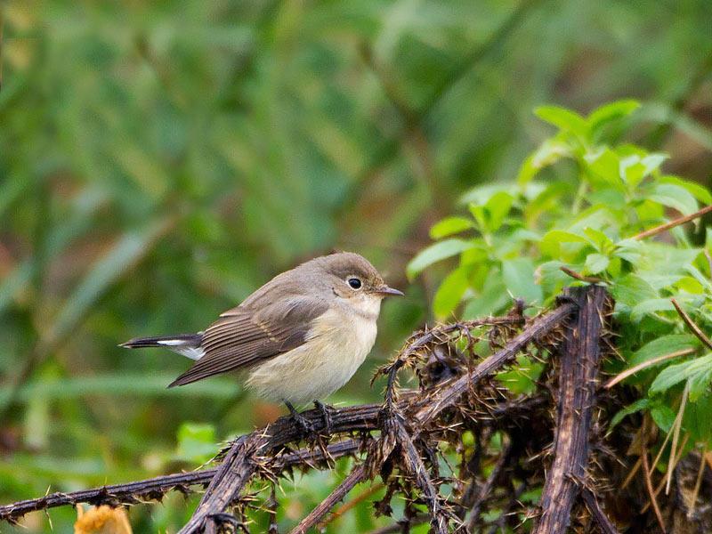 Van kleine vliegen en asian blondes dutch birding - Alle tuin ...