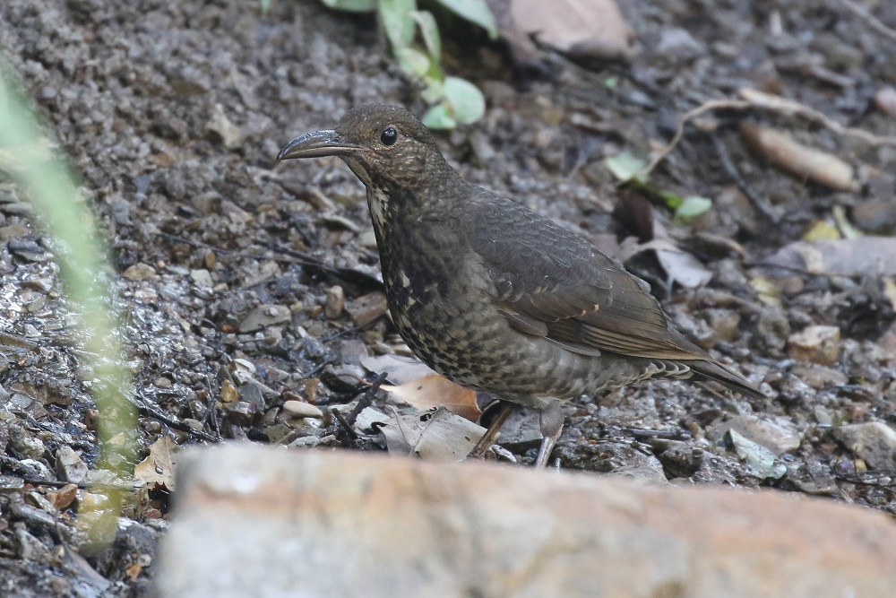 Long-billed Thrush