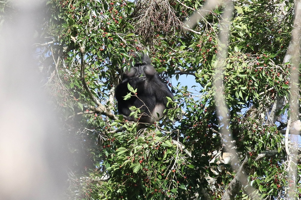 Tonkean Black Macaque