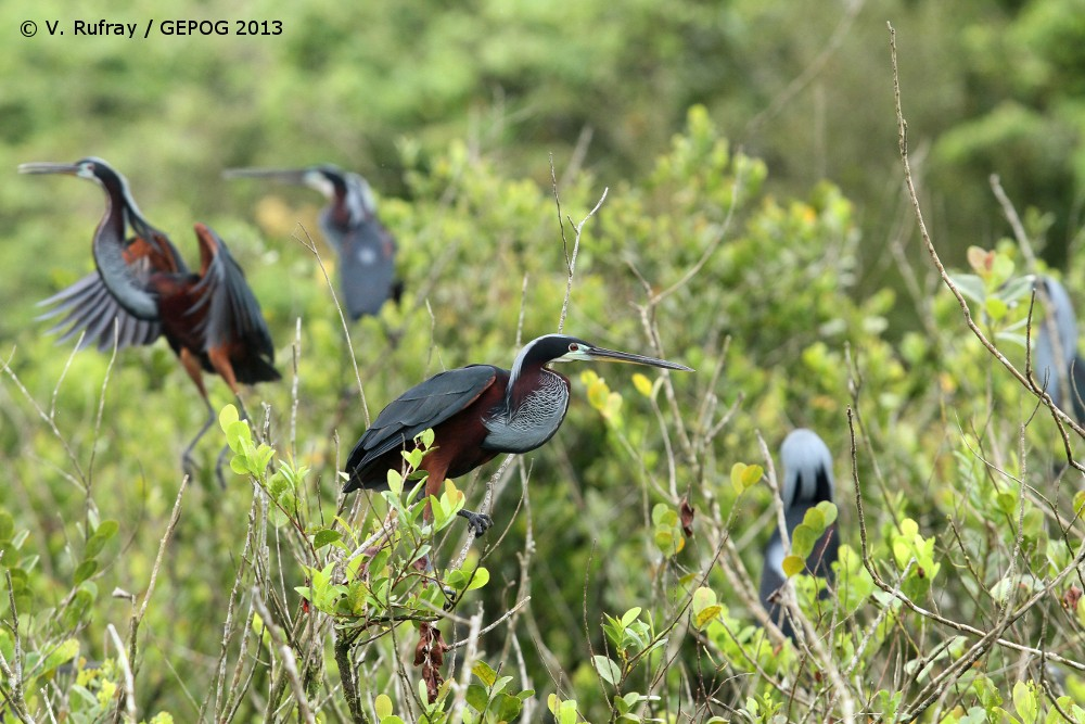 Agami Heron colony in the Kaw Marshes, French Guiana