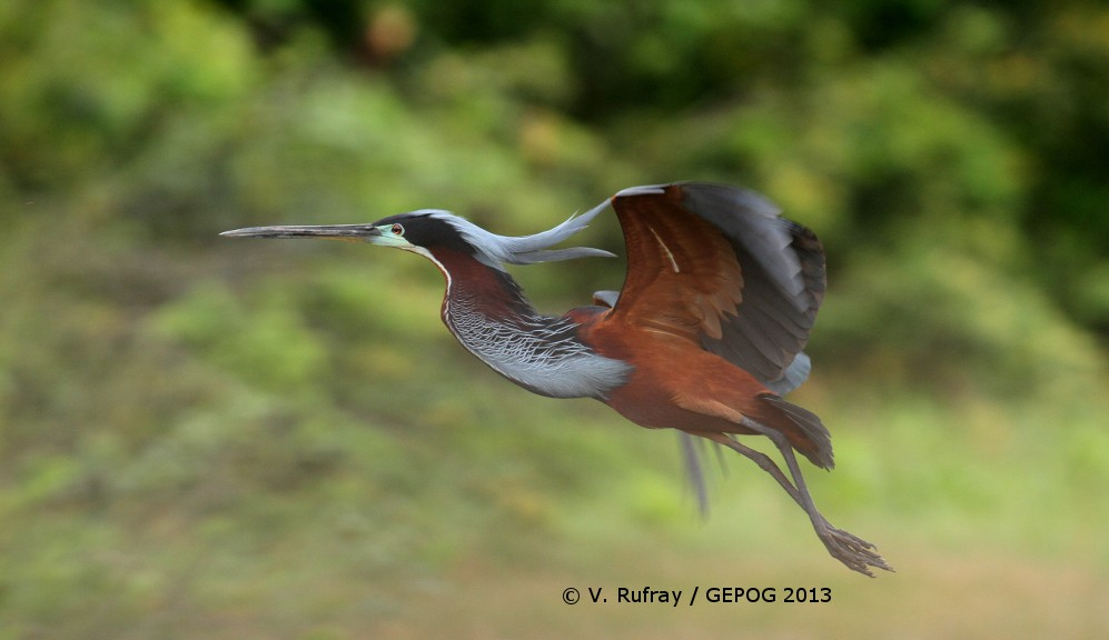Agami Heron in the Kaw Marshes, French Guiana