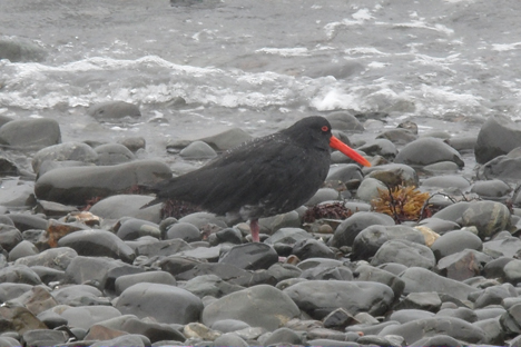 Variable Oystercatcher (Foto: Ineziatours.nl)