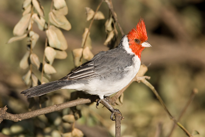 Red-crested Cardinal Menno