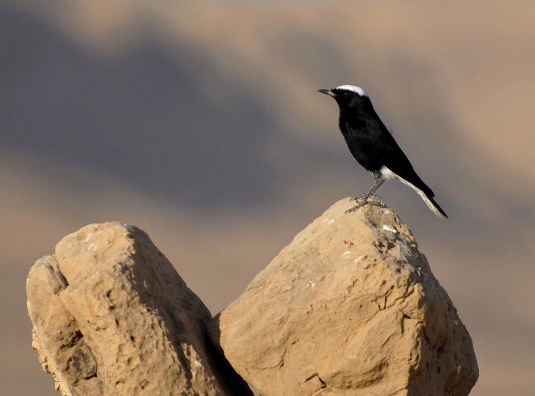 White-crowned Black Wheatear - René Pop