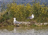 We Need Gulls!