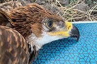 De volgende Hongaarse Keizerarend doet Nederland aan. En….een door Dutch Birders gesponsorde GPS-tag!