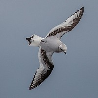 Ross's Gull at Vlissingen harbour