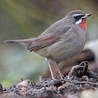 Nationale Tuinvogeltelling: dwaalgasten in de tuin