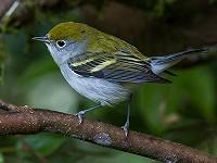 Dutch Birding vogelweekend Texel - 4 t/m 7 oktober 2019