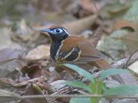 Rondonia en de Bushbird