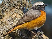 Geographical variation in Common Redstart calls