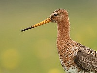 Measurement of relative bill length of Black-tailed Godwits from photographs
