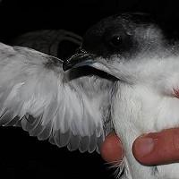 Ondersteun South Georgia Diving Petrel-onderzoek / Support South Georgia Diving Petrel research