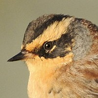 Update: Unprecedented influx of Siberian Accentors in Europe - and finally the first for the Netherlands